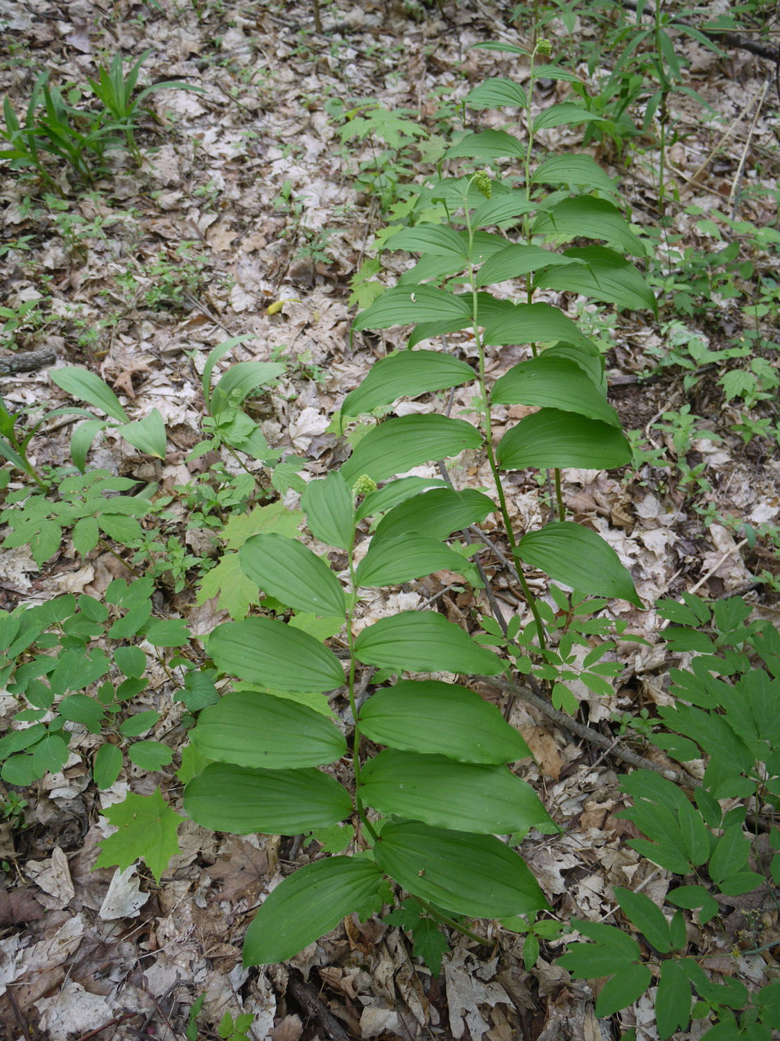 False Solomon's seal group