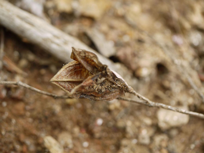 Mountain bellwort