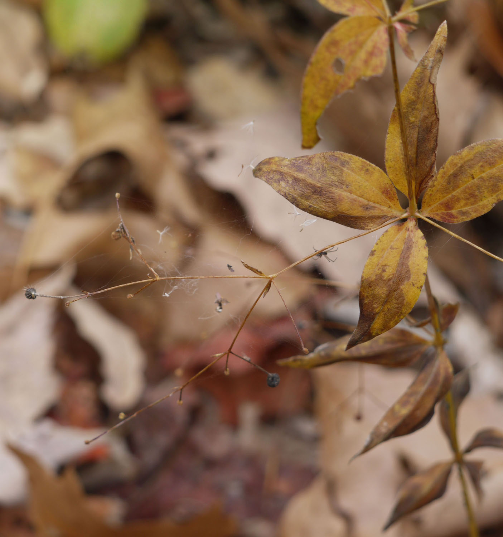 Lance-leaved wild licorice