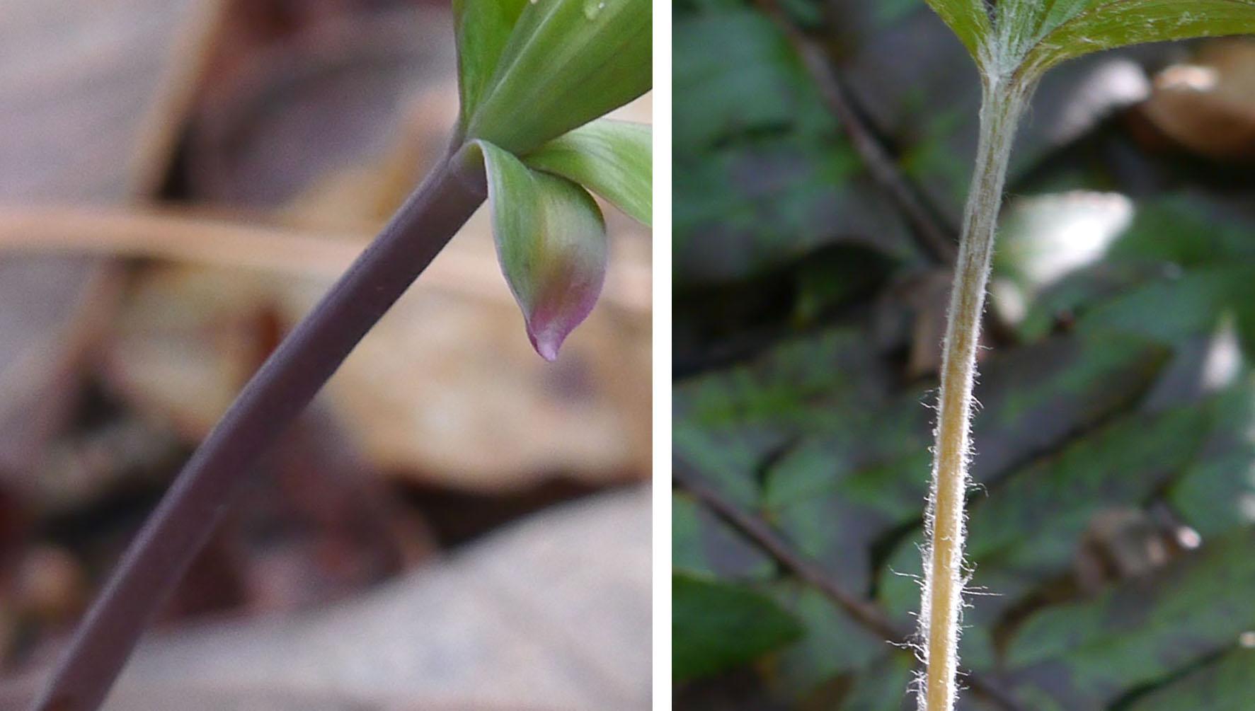 Whorled pogonia-Indian cucumber root