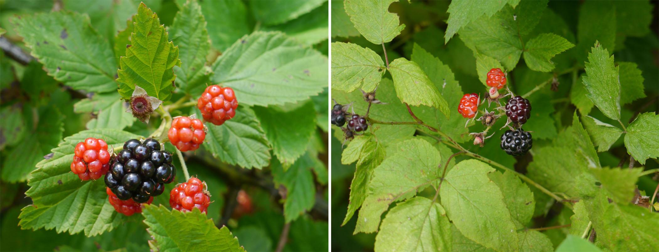 Blackberry-black raspberry