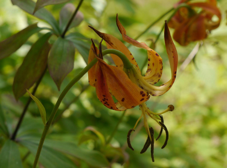 Carolina lily