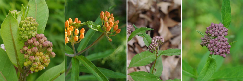 Common milkweed Butterfly weed Four-leaved milkweed Swamp milkweed