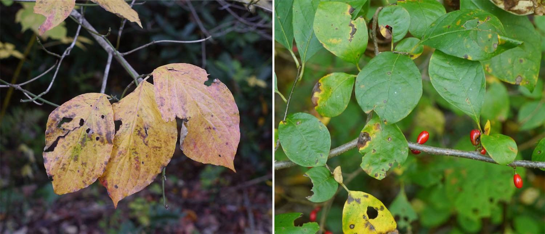 Flowering dogwood and Spicebush